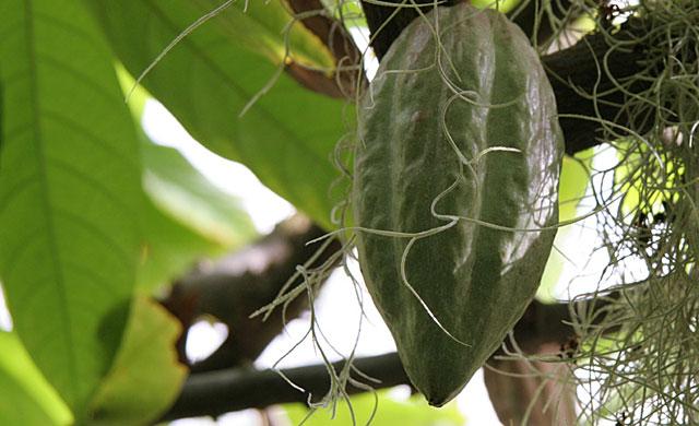 kakaotree